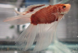 Double Tail Veiltail Male Betta